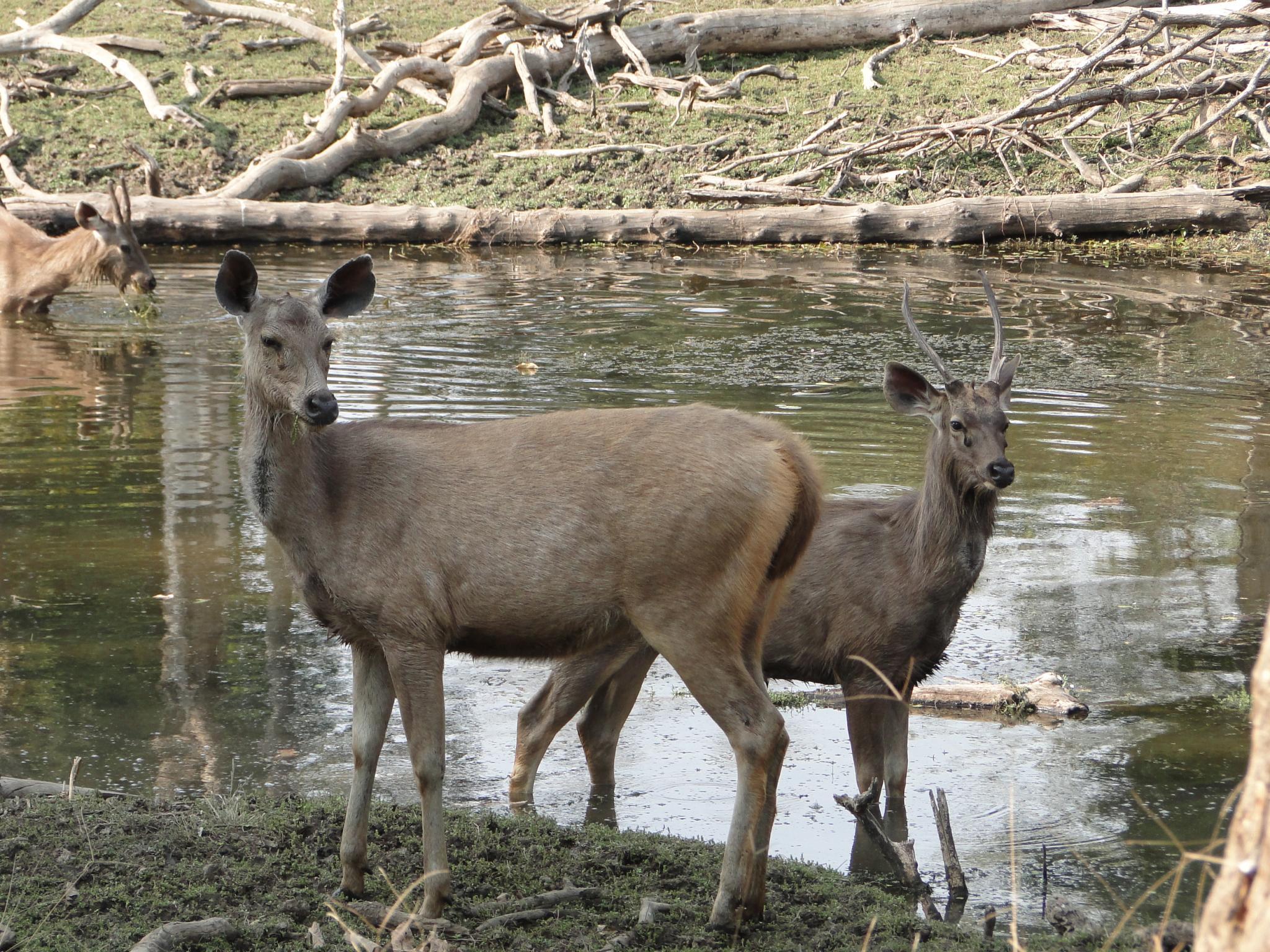 Musk Musk Deer Musk Deer Farm